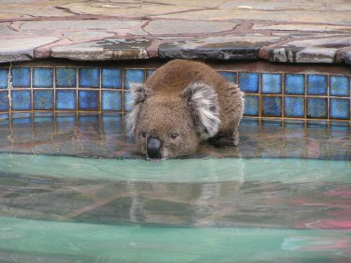 Thirsty Koala - This Koala had come into town to escape the bush fires, and was cooling off in the fountain!