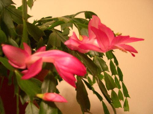 cactus - My christmas cactus