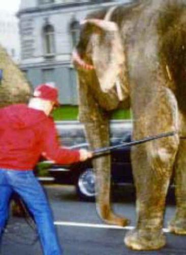 Elephant Being Hooked to Walk - Hooked by Trainer