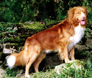 Nova Scotia Duck Tolling Retriever - A very striking male with the typical 'chrome' markings.