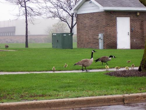 The newest Goose family - Mr. and Mrs. Goose with their new members of the family.