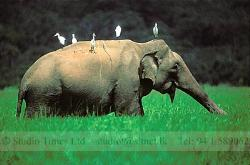 Buty of Sri lanka - A wile elephant in a field