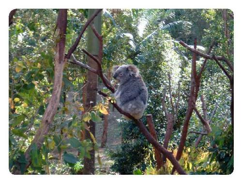 Koala - Currumbin Zoo