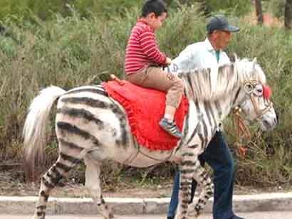 Fake Zebra - Fun for kids
