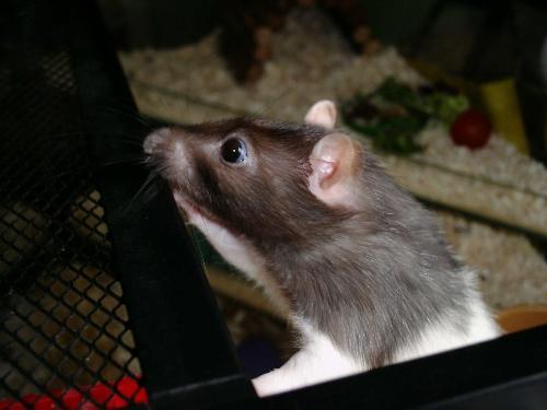 Millie - my little rat millie.