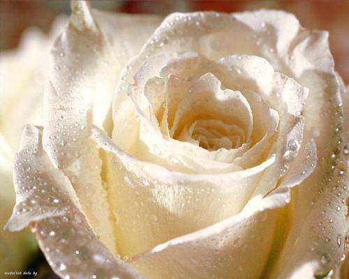 Which rose you like - Its a beautiful one like my girlfriend