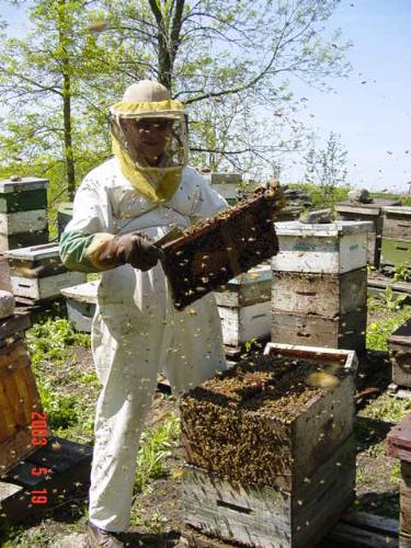 beekeeping - This photo is taken in a beeyard. I'm dessed in beesuit and gloves hat and veil. I've opened a hive to examine the bees inside. there are probably 75000 bees in this hive. the bees are not angry and I probably didn't get a single sting. You have to understand bees before you can get up this close.