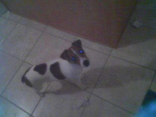 My baby Jack. (yes, I know it's a lame name. he h - My 7 month old Jack Russel Terrier.