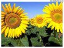 sunflower - do you like this