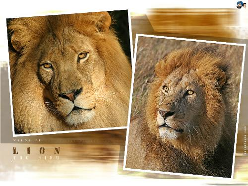 lion -  i like line. line is the favorite one.it is a king of forest