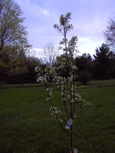 My Pear Tree in full Blossom - This is my Bartlett Pear Tree I planted it Fall of 2005.