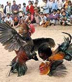 Cockfighting - Cockfighting - another form of animal cruelty