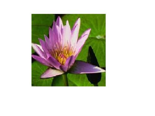 Lotus -  Lotus is the National Flower of INDIA.