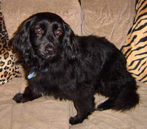 Cocker spaniel dachshund mix puppy - photo#14