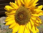 sunflowers - sunflowers grow tall