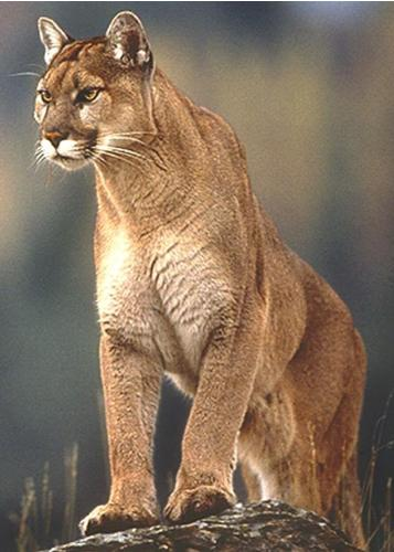 Mountain Lion - Often called the Mountain Lion, Puma or Cougar it is the largest wild cat found in the United States.