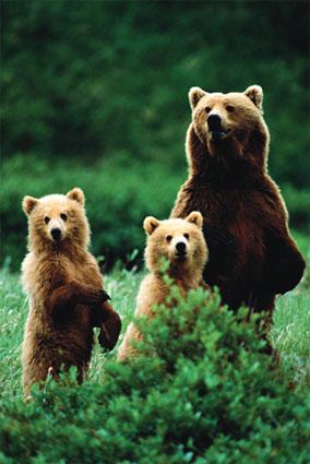 three bears - picture of three bears