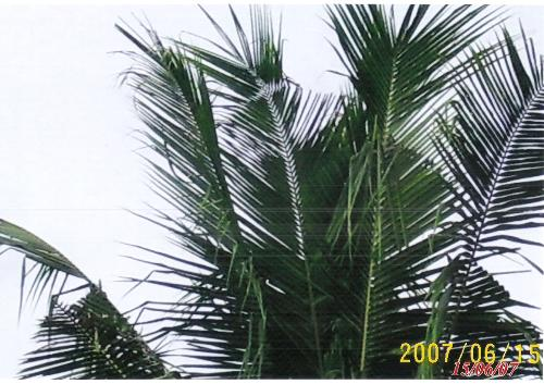 Mysterious coconut tree - A cross appeared on a coconut leaf.
