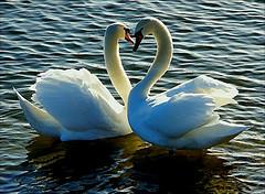 Swan - Lovers'Swan
