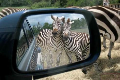 Zebras - An amazing photo