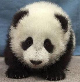 Panda Cute - This is a baby panda looks like.