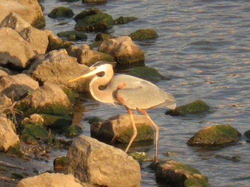 Blue Heron - I think that's what this bird is known as. I caught this along the banks of thre Mississippi River near downtown Mineapolis.