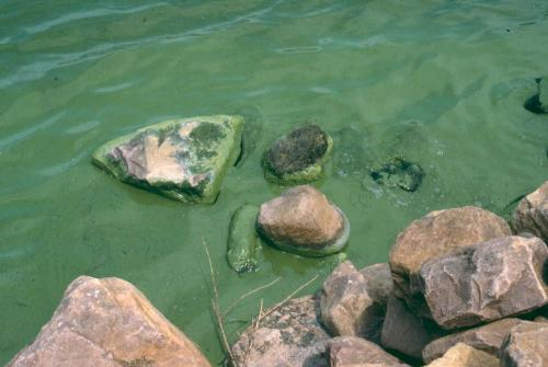 Algal Bloom - On the shore of a lake