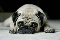 Pug | I Love You - HuH! Pug! I love you, want to marry you:-p, ur ma dream dog.