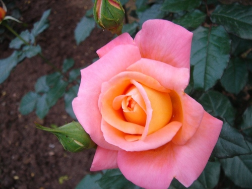 A Beautiful Rose - A Rose is the most beautiful flower on this planet.