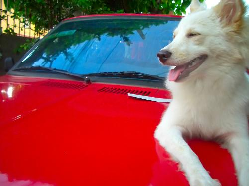 My dog on top of my dad's car - I did a sort of photo shoot for my dog. I chose the hood of my dad's car because it's red, and my dog's color is white with a little bit of brown. Her name is Booboo, and she's now 8 months old.