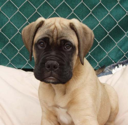 Bullmastiff Puppy - The end of puppies?