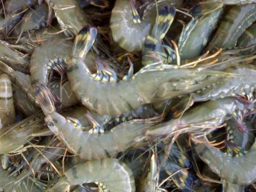 big shrimps! - newly harvested shrimps,