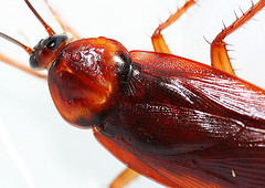 WOW! Thats a Cockroach! - A household pest called cockroach.