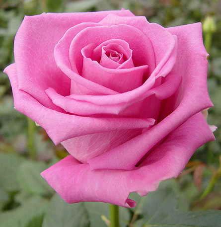"a pink rose - a pink rose symbolizes ""love!"""