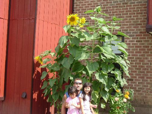 Gigantic Sun Flower - Sun flower grow so big