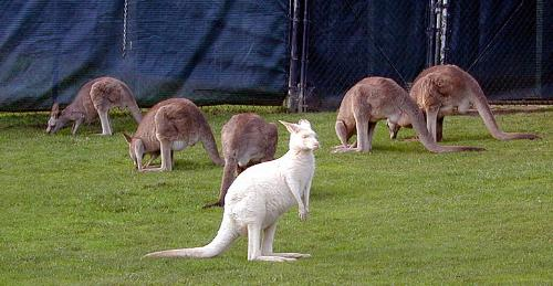 white kangaroo!!!! - have you guys heard of this white kangaroo????