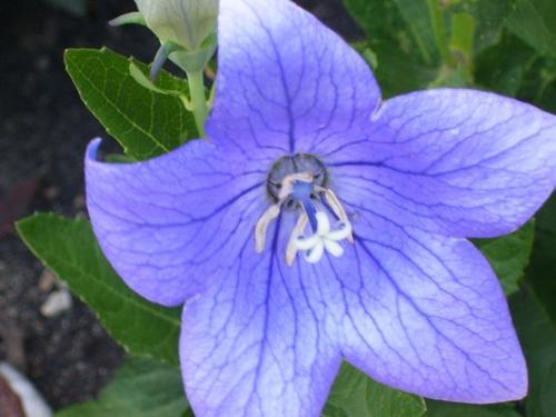 Summer Flower in Michigan - Brillant blue star flower photo taken in Michigan, USA