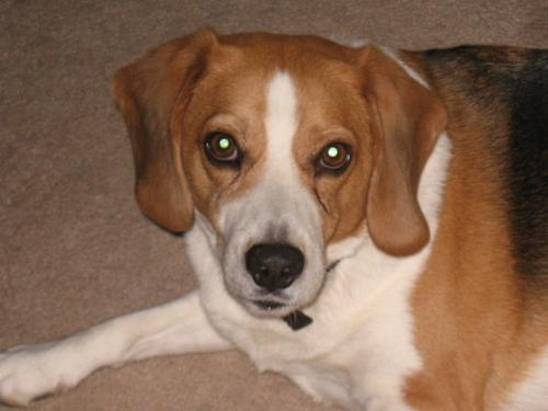 My Buddy Buster - He is 6 years old. Beagle mix