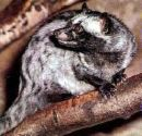 Philippine Civet  - This photo is from www.java-coffee.be