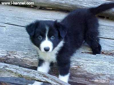 border collie puppies. Tags: order collie , collie