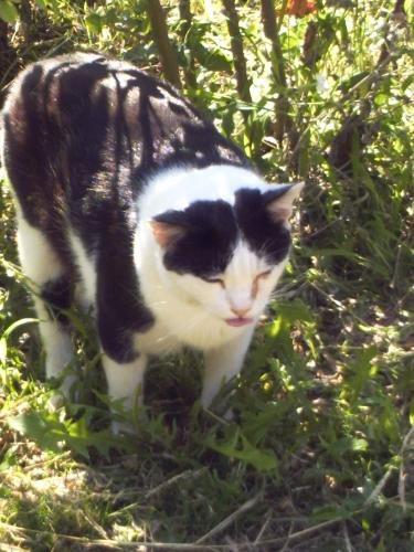a garden cat 1 - This black and white 'tiger' is a real champion of purring!