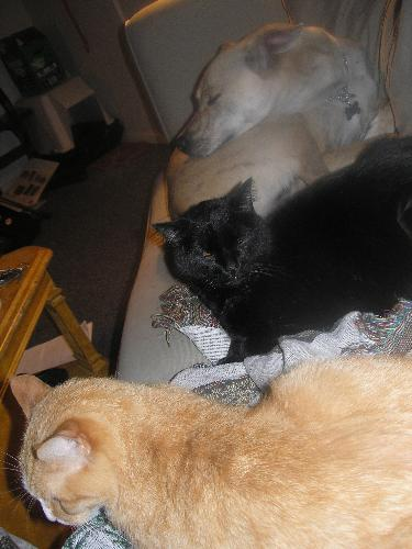 Trio of pets - my 2 cats and 1 dog all on the couch at the same time.