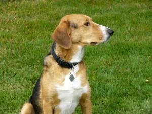 A Treeing Walker Coonhound/German Shepherd mix - A Treeing ...