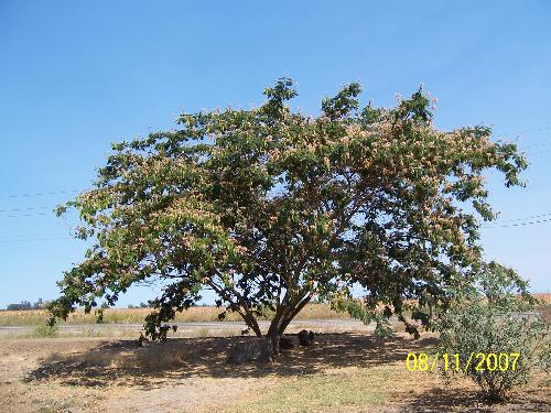 China Berry tree - A tree my husband and I planted 15 years ago.