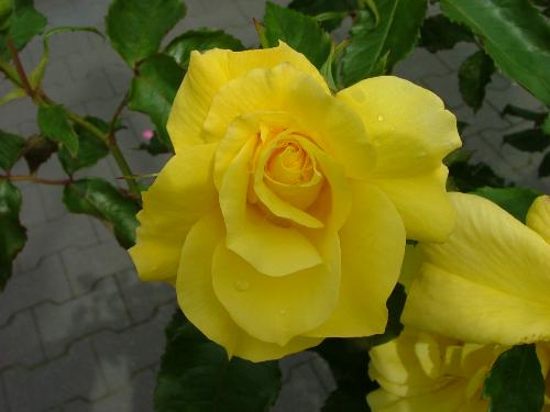 yellow rose - yellow rose with the sweetest scent
