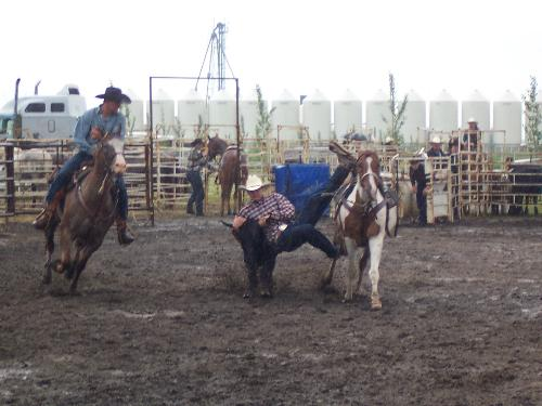 Photography Assignment for Rodeo in St. Claude, Ma - Cowboy doing his best to wrangle. It was a rainy day...and all the participants still had a great time! I was told that cowboys and cowgirls love these events...it is in their blood. I was doing a news piece for the Carman Valley Leader newspaper...and it is just one of the many reasons I love being a journalist. There are always news stories to cover and photographs to shoot!