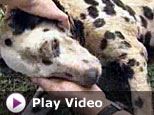 Dalmation rescued. - This is such a heart warming story that could have turned out worst.