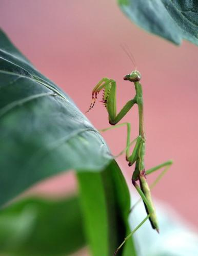 macro of baby praying mantis - This is a baby praying mantis. I used a canon 400d with a 100mm macro lens.