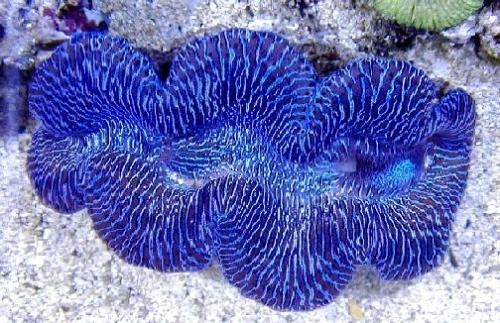 giant clam breeding - the giant clam
