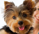 Yorkshire Terriers - cute yorkie pup